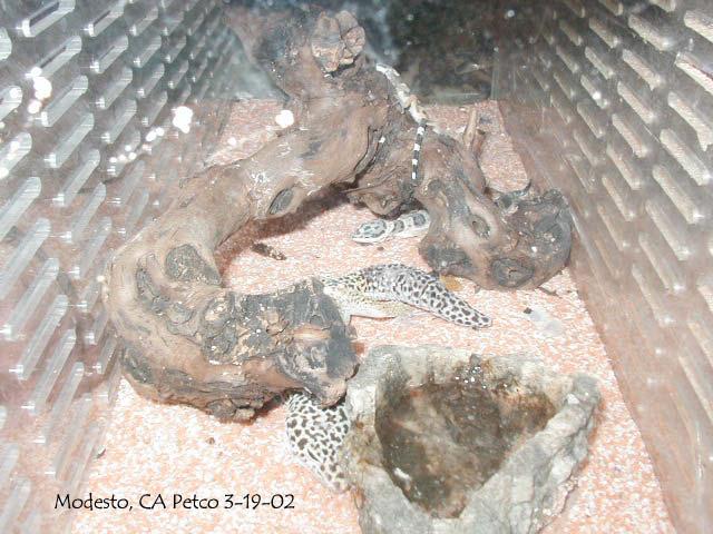 Kingsnake Herpforum Re Petco Blue Iguanas